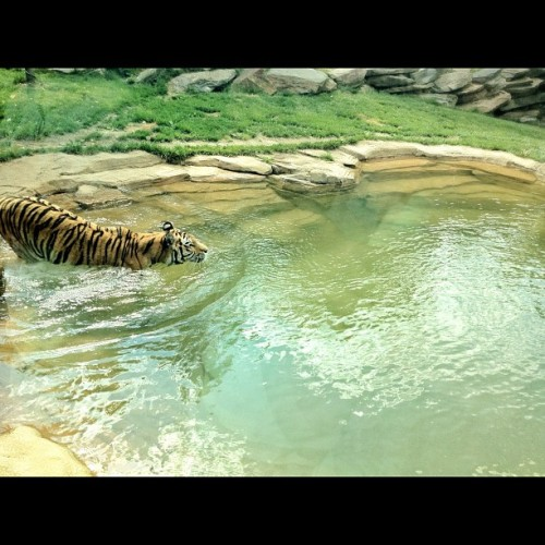 #tiger #philadelphiazoo (Taken with instagram)