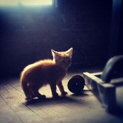 "Playing with an old spool he found in the ""barn"" on the 3rd floor #kitten #cat #kitty #baby #spool #hardwood #floor #sunlight #cute #playing (Taken with instagram)"