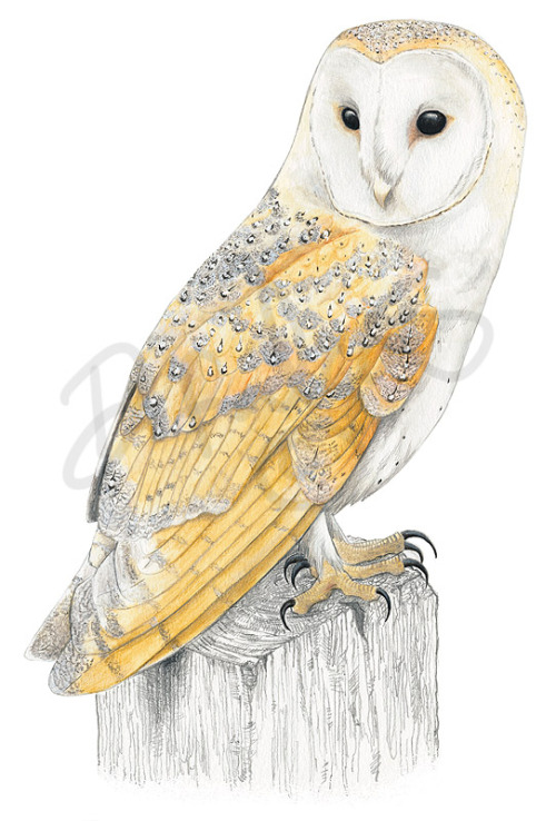 dfalcao-art:  Tyto alba painted in watercolour. This picture is in a A3 size, and gave me a whole lot of trouble :p loll That grey pattern on the feathers and all was slightly annoying. XD
