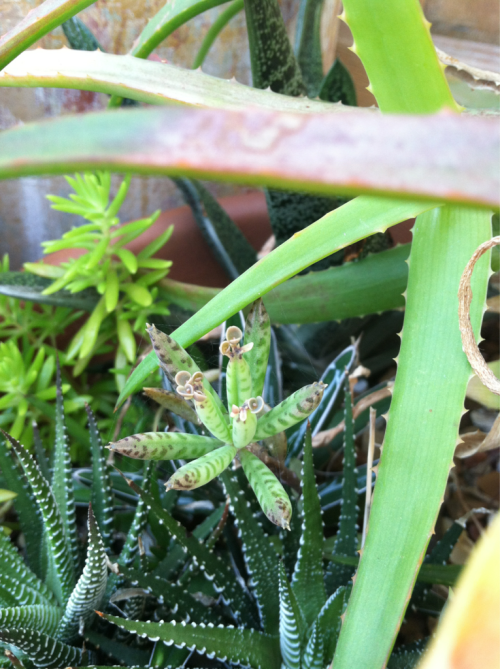 I noticed this little succulent amongst the aloes a few weeks ago, but it now looks even more strange so I am on the search to ID it … I will post results when available.