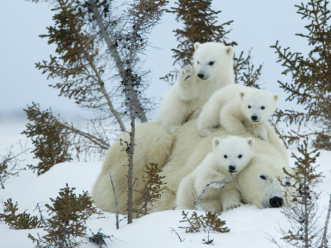 Mother with Triplets, Wapusk National Park, Churchill, Manitoba. (Source)