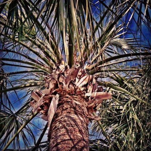 #sunny #florida #tree #palmtree #nature #iphone #iphonesia #bored #ikonic  (Taken with instagram)