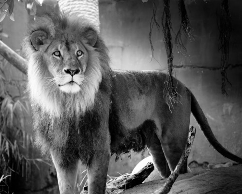 black-and-white:  Lion (by BenjaminWeston)
