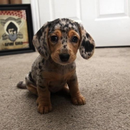 alexusl0l:  I want a dappled daschund puppy more than life.