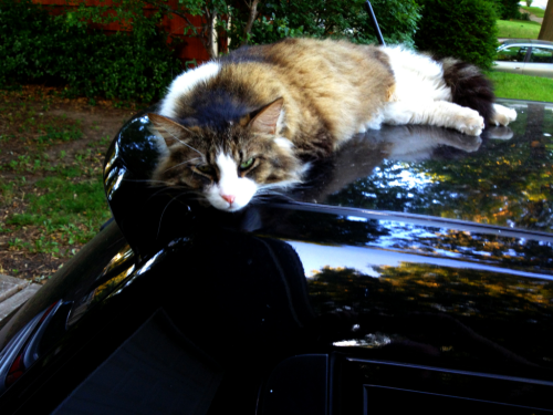 ~ neighbor cat likes taking a nap on my car ;)