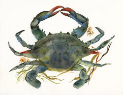 """Blue Crab"" by Amber Alexander on Etsy"