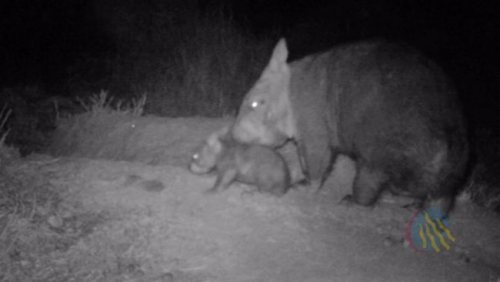 VIP Babies: Good News for Norther Hairy-nosed Wombats Scientists monitoring critically endangered northern hairy-nosed wombats at a new colony they set up near St George in southwest Queensland have found that a third wombat is pregnant. Of two born last year, one has already done the wombat equivalent of moving into a flat, having set up a bachelor pad in one of his mum's burrows. Acting threatened species manager David Murphy said the births and the fact the animals had settled in well was evidence the long-awaited translocation had worked. [** Its historical range once extended across three states just 100 years ago, but it is now restricted to one place, a 3 km² range within Epping Forest National Park in Queensland. In 2003 the total population consisted of 113 individuals, including only around 30 breeding females.]