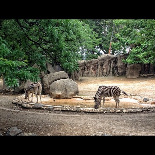 #zebras #zoo (Taken with instagram)