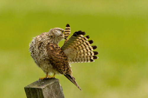 llbwwb:  Polish the feathers by Menno Schaefer