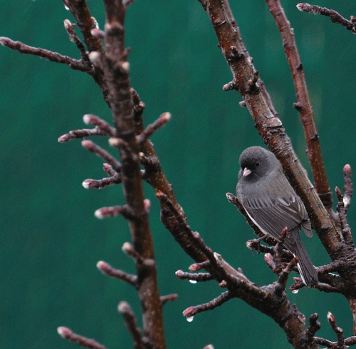 Junco ardoisé by LeMoyne747 on Flickr.