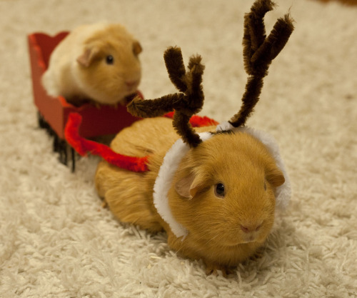 guineapiggies:  marsu_7 (by marsula)