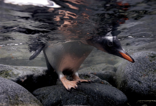 penguin underwater peek by paul nicklen
