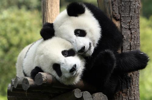 pandas in love by longxi-hongkou