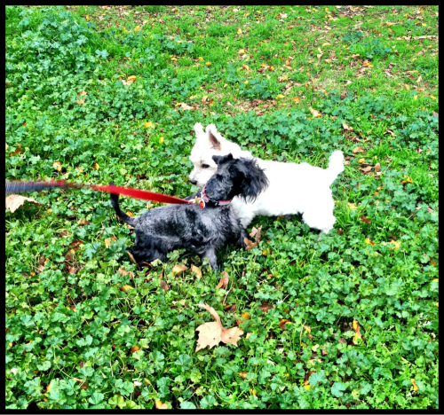 Tex at the park with his new Westie buddy.