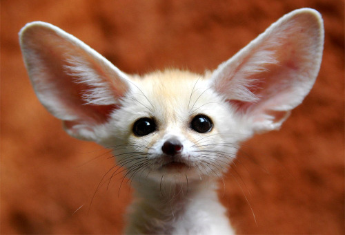 llbwwb:  a little fennec fox  by  longxi-hongkou