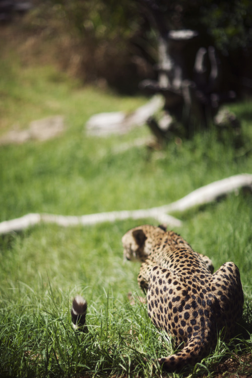 tigersandcompany:  Cheetah (by weaverglenn)