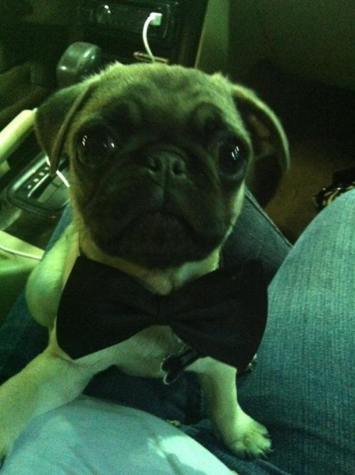 Puglet is trying on his classy look today! (submitted by trashybutstillclassy!)