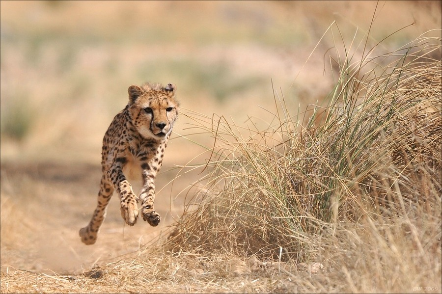 "magicalnaturetour:   ""Cheetah Sprint"" by Elmar Weiss :)"