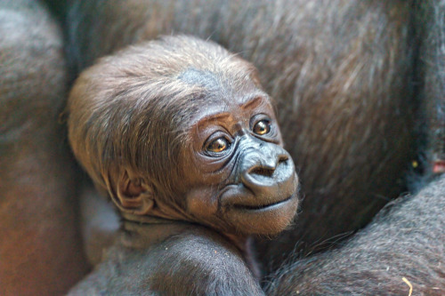 tumblr m51adz4nB01qargfho1 500 llbwwb: Portrait of the cute baby gorilla (by Tambako the...