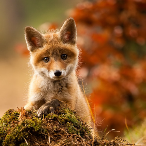 llbwwb:Cute Baby Fox by Adamec. Hey Guys,we need more Animals! Submit your Animal shots and Cute Pets now! They don't need to have 1000 Notes,to be featured as Todays Cuteness :)  You have to follow this blog, it's really awesome!