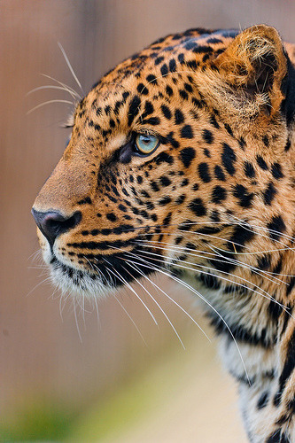 theanimalblog:  (by Tambako the Jaguar)