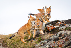 Easily one of the most, if not the most, endangered canids in the world lives in Africa. Not the Africa with lush jungles, vast deserts and bountiful grasslands.. But Ethiopia, where the highlands contain Ethiopian wolves (Canis simensis). As of January 2012, there are less than 500 individuals remaining. Their biggest threats range anywhere from human encroachment to diseases carried by domesticated dogs. Like the grey wolf, they've retained quite a few characteristics with their ancestors. They have a pack mentality, and only the alpha males & females breed within the pack.. Although the alpha female often does breed with males out side of the pack. Putting all sneaking around aside, pack members all pitch in to help raise pups.  Days start off greeting members of the pack. They reform bonds and other various social interactions in order to maintain that close pack relationship. Then, they continue with protecting their large territory. If they do encounter others of their kind, the patrol does not all of a sudden turn out into a full blown war.. Instead, they'll resolve the situation with a series of yelps, barks and howls.  Hunting is the next big part in daily life. They don't hunt in packs because, quite frankly, there isn't big enough prey to make it worth while. They're lone hunters, patrolling for rodents that would make a delicious meal. Mole rats, for instance, seem to be on the top of their menu. Once a rat is discovered, the wolf will edge forward on it's stomach to remain unnoticed. When the prey looks away, they bunny hop to close in space.. Or rush in short bursts. Then they lunge, and more often the prey makes a speedy escape so they have to either frantically chase their food in circles, or dig 'em out of a hole. Returning to the den that contains their precious pups, pack members will routinely return throughout the day to regurgitate some of their food for the young. A 'nanny' often watches the days events with the pups.