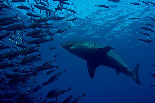 fyeah-seacreatures:  Great White. (divindk) Guadalupe Island.