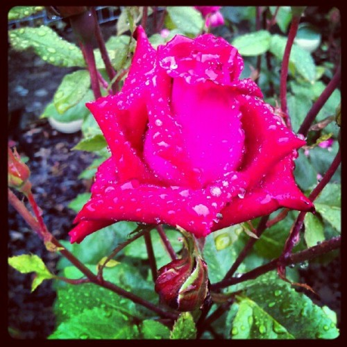 Red rose 2 #nature #green #flowers #red #rose #raindrops  (Taken with instagram)