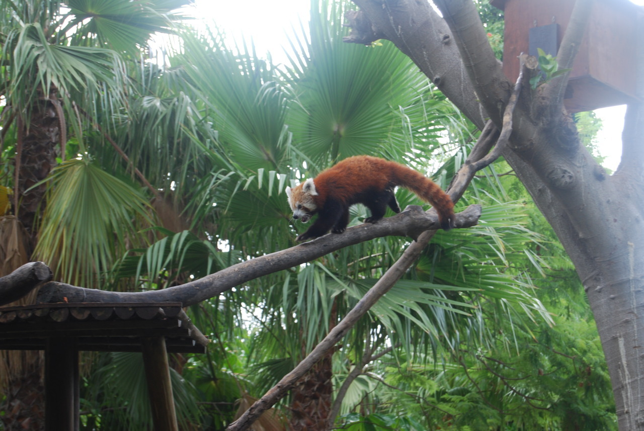tr-opicalkid:  look guys! it's a red panda <3