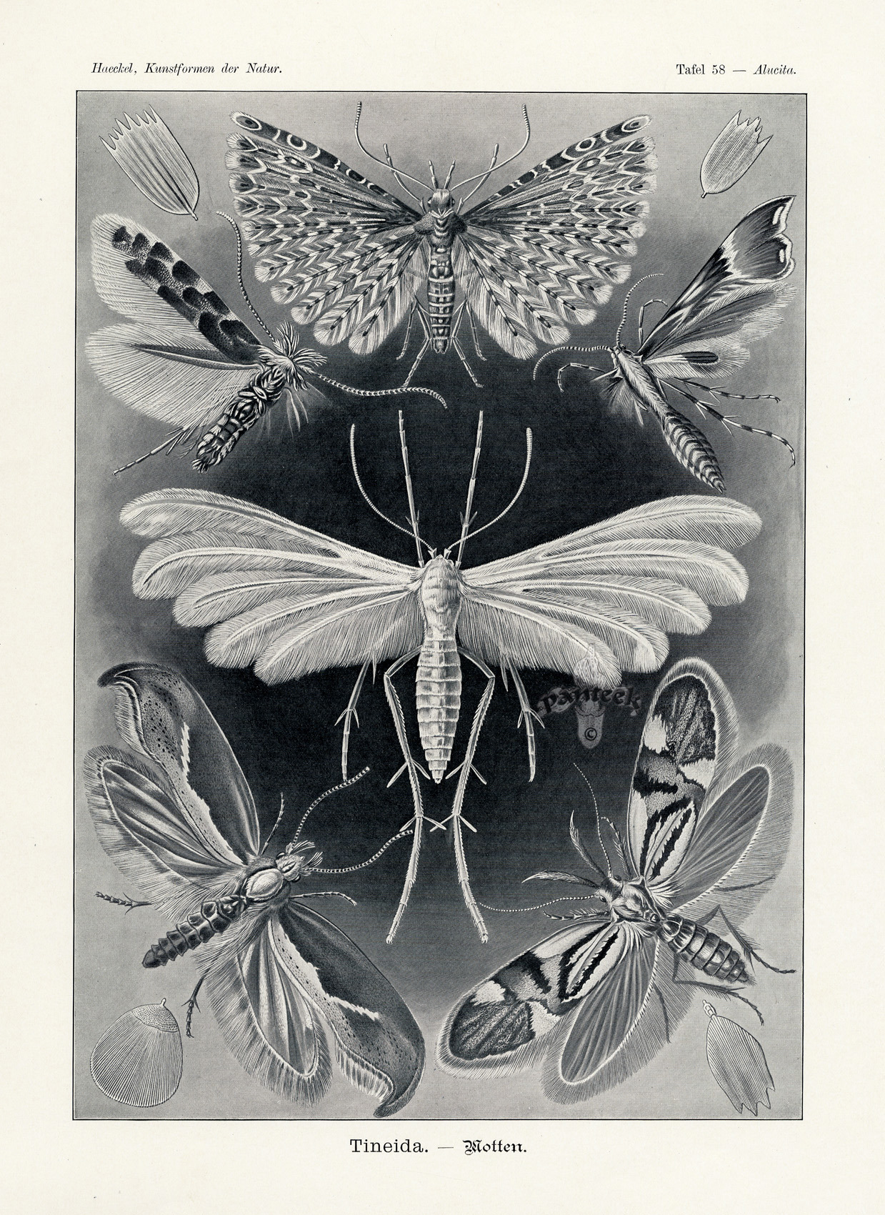 atelierentomologica:  Plate from Kunstformen der Natur, or Art Forms in Nature, by Ernst Heinrich Haeckel (1834-1919)