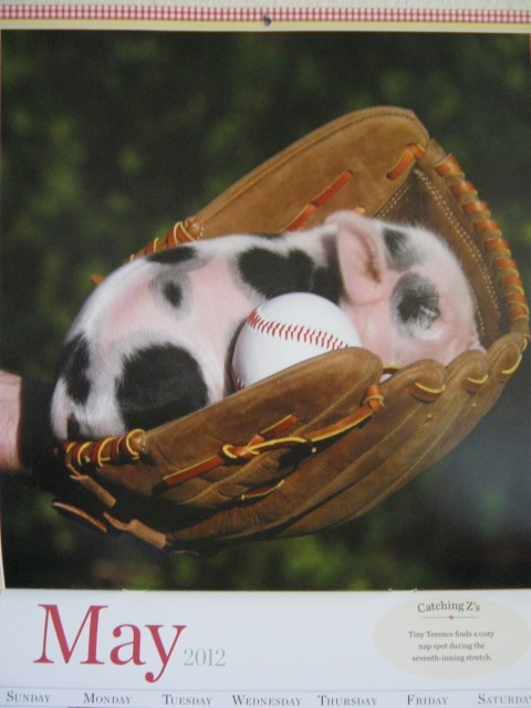 "oldtimefamilybaseball:  Yes, that's a teacup, or ""pocket"" pig in a baseball glove. I'll miss you, May."
