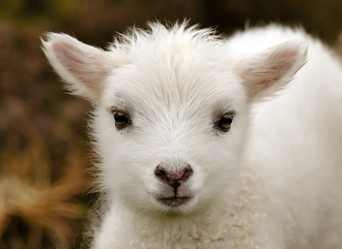 magicalnaturetour:  Lil' Lamb by Crieffy. on Flickr. :)