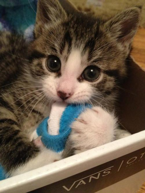 "thefluffingtonpost:  Kitten Tries New Sock Diet In an effort to shed those last few pounds before swimsuit season, a kitten named Toby is trying a new diet plan created by veterinarian and author Dr. Ray Sulcer. ""It's a sock-only meal plan,"" says Katie Griggs, Toby's nutritionist. ""Socks are high in fiber, low in fat, so it really helps you lose those pounds quickly."" Via slippyfop."