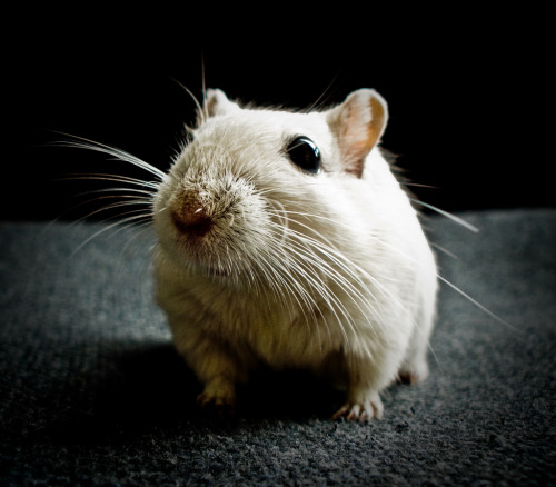PHOTO OP: Gerbil Portrait Studio Via boooooooomblastandruin.