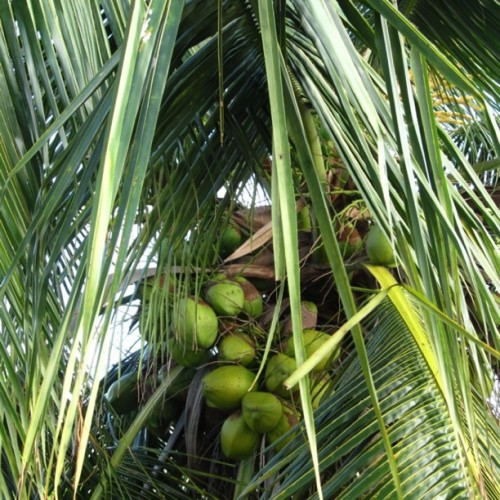 Big green nuts… #coconut #coco #beach #santodomingo #dominicanrepublic #caribbean #nature #random (Taken with instagram)