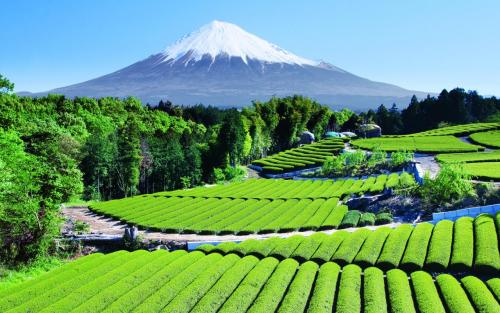 sav3mys0ul:  Tea Garden near Mt. Fuji, Japan