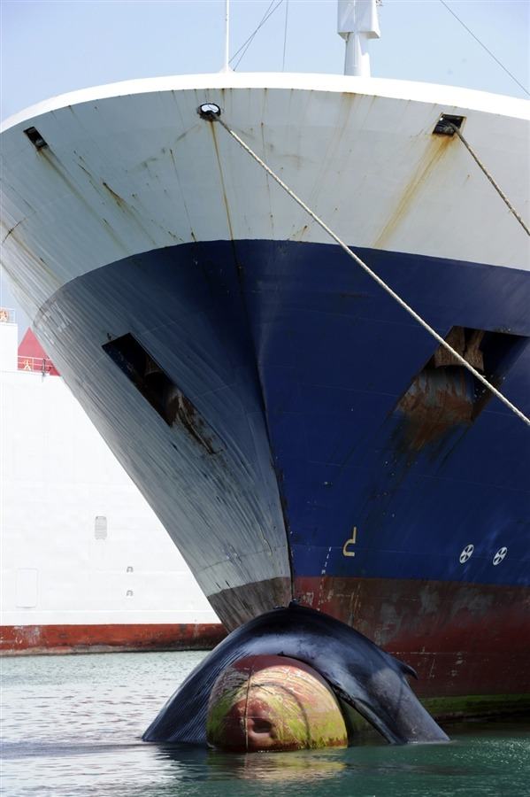 "The body of a dead whale, hooked on the bow of a cargo ship, is seen on June 2, in Marseille, France. The animal was hit by the vessel ""Mont Ventoux"" on the route between France and Tunisia and was discovered dead upon the arrival of the ship in the Seaport of Marseille."
