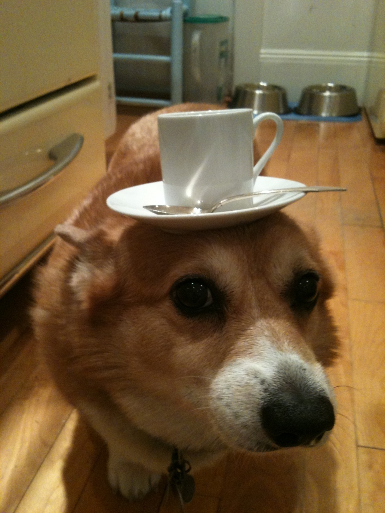 corgisandboobs:  This is the most British fucking dog in the world. A Corgi that serves tea.