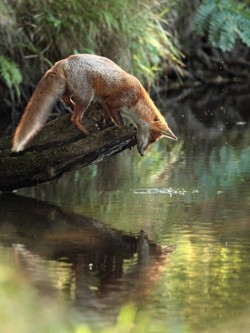 red lake beautiful trees mirror animal water nature forest reflection fox woodland