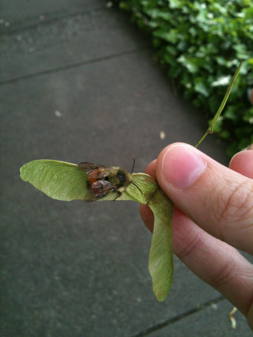 I saved a little bee friend that was falling asleep on the sidewalk. Scooped it up with a helicopter seed, then it crawled on my finger for a while and licked my fingernails. Then I left it on a flower bush. ;U;