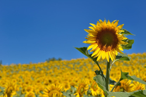 amariusque-admare:  Sunflowers in Marche, Italy (by JackHo9)