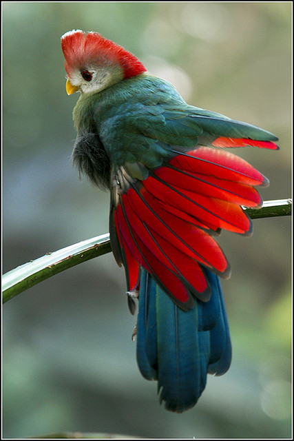 fat-birds:  03-0181 Red Crested Turaco by Earl Reinink on Flickr.