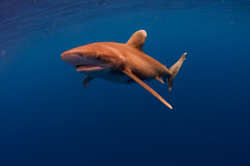 oceanic whitetip!