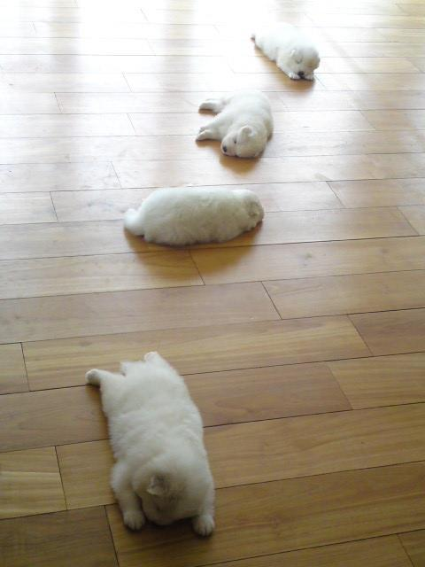 Exhausted Japanese Pitch Puppies.  When I first saw these puppies, I thought they were Samoyeds so I did a little research.  Yes, there are Japanese Pitch dogs and they look almost exactly like a Samoyed, at least by photographs.  The Pitch dogs are slightly smaller than the Samoyed females and when you look at their faces, their eyes are slightly different.  They are practically identical in all other ways.  Amazing!