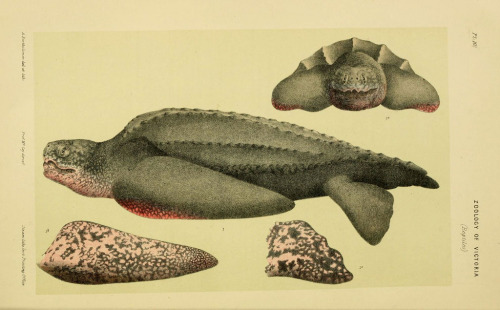 rhamphotheca:  Leatherback Sea Turtle from Natural History (Zoology) of Victoria. Dec.11-15, Melbourne, J.Ferres, government printer; 1885-90. (via: biodiversitylibrary.org/page/3828388)
