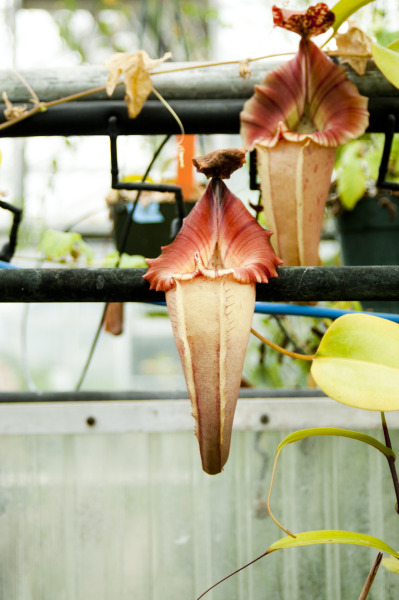 qbnscholar:  Two Floating Nepenthes Pitchers: Botanical Conservatory. UC Davis, 05-29-12.