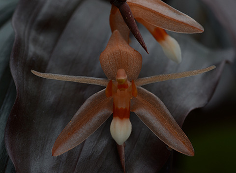 Coelogyne monilirachis is a tropical orchid with dark bronze leaves and translucent orange flowers. It grows as an epiphyte in lower montane forests in the Malaysian states of Sabah and Sarawk on the island of Borneo.