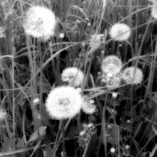 #dandelion #flower #plants #bw #blackandwhite #garden (Taken with instagram)