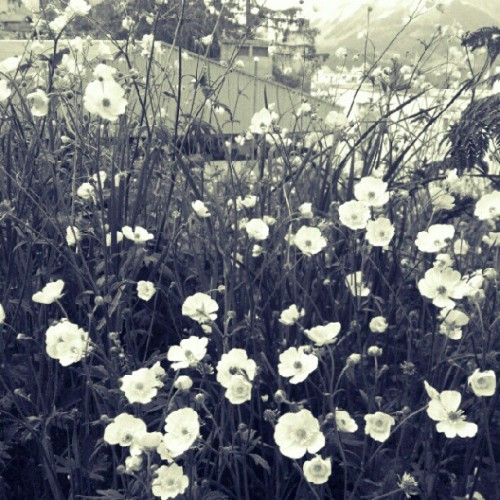 #flower #bw #blackandwhite #garden #spring #plants  (Taken with instagram)