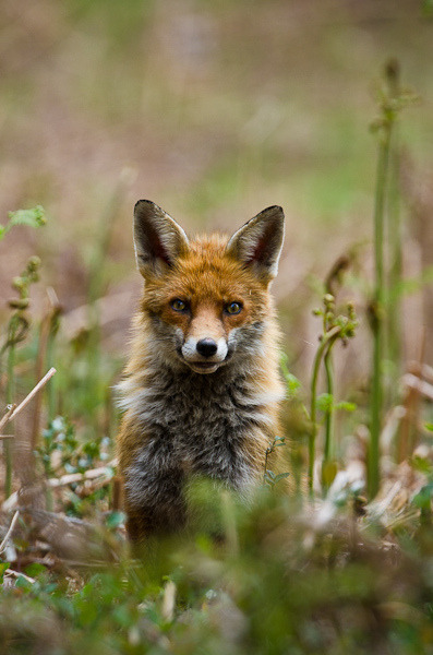 Fox portrait by andrewinpompey on Flickr.